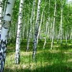 Березовый лес, фото Глазырина Е.